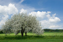 Flor da árvore de Apple Imagem de Stock