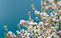 Flor da árvore de Apple com flores brancas Imagens de Stock