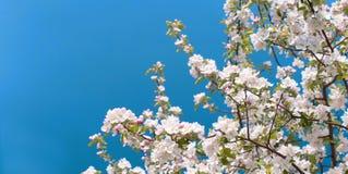 Flor da árvore de Apple com flores brancas Fotos de Stock Royalty Free