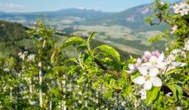 Flor da árvore de Apple Pomares de Apple no tempo de mola no campo não do vale Val di Non, Trentino Alto Adige, AIE do norte Fotos de Stock Royalty Free
