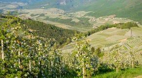 Flor da árvore de Apple Pomares de Apple no tempo de mola no campo não do vale Val di Non, Trentino Alto Adige, AIE do norte imagem de stock royalty free