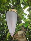 Flor da árvore de banana fotografia de stock
