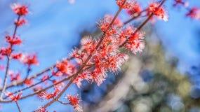 Flor da árvore de bordo Imagens de Stock Royalty Free
