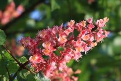 Flor da árvore de castanha do cavalo Imagem de Stock Royalty Free