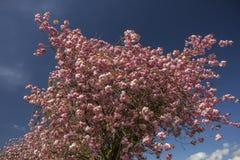 Flor da árvore de cereja contra o céu azul Fotografia de Stock