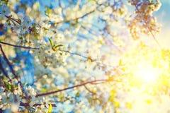 Flor da árvore de cereja e do sol translúcido florais Imagem de Stock