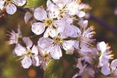 Flor da árvore de cereja na mola - a árvore floresce tons do rosa da flor Foto de Stock Royalty Free