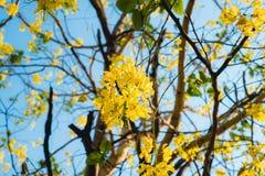 Flor da árvore de chuveiro dourado Foto de Stock Royalty Free