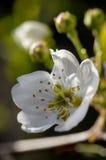Flor da árvore de corniso Fotos de Stock