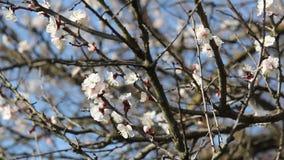 Flor da árvore de fruto, Krasnodar, Rússia filme