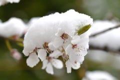 Flor da árvore de maçã com neve Foto de Stock Royalty Free