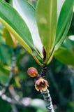 Flor da árvore dos manguezais, fim de Blume do apiculata do Rhizophora acima do sho imagens de stock