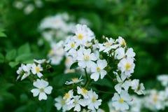 A flor da árvore da mola floresce com beira verde das folhas Flor bl Foto de Stock Royalty Free