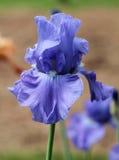 Flor da íris Imagem de Stock Royalty Free