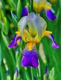 Flor da íris Fotografia de Stock Royalty Free