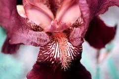 Flor da íris fotografia de stock