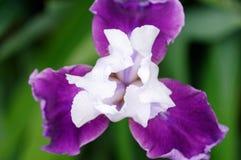 Flor da íris foto de stock