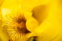 Flor da íris amarela Fotos de Stock Royalty Free