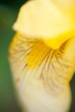 Flor da íris amarela Fotografia de Stock Royalty Free