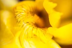 Flor da íris amarela Imagem de Stock