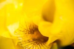 Flor da íris amarela Imagens de Stock