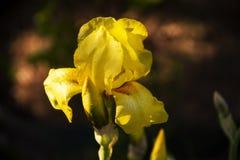 Flor da íris amarela no jardim imagem de stock