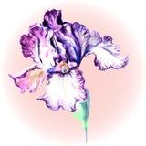Flor da íris em um fundo cor-de-rosa Imagem de Stock Royalty Free