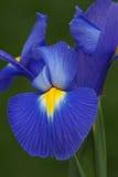 Flor da íris holandesa Fotos de Stock