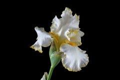 Flor da íris, lat. Íris, isolada em fundos pretos Imagem de Stock