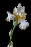 Flor da íris, lat. Íris, isolada no fundos pretos Fotografia de Stock Royalty Free