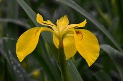 Flor da íris selvagem Imagens de Stock Royalty Free