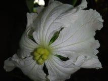 Flor da abóbora fotos de stock royalty free