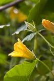 Flor da abóbora fotos de stock