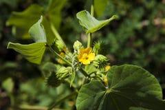 Flor da abóbora Imagem de Stock