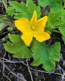 Flor da abóbora no campo Fotografia de Stock