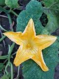 Flor da abóbora da queda no remendo da abóbora fotos de stock