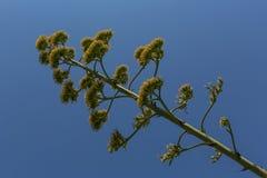 Flor da agave Imagens de Stock Royalty Free