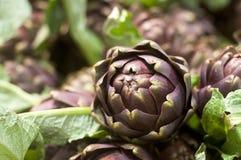 Flor da alcachofra Imagens de Stock