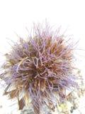 Flor da alcachofra Fotos de Stock