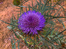 Flor da alcachofra Imagem de Stock
