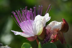 Flor da alcaparra fotografia de stock