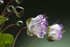 Flor da alcaparra fotos de stock