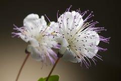 Flor da alcaparra Imagens de Stock Royalty Free