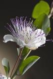 Flor da alcaparra foto de stock royalty free