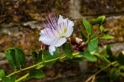 A flor da alcaparra fotografia de stock