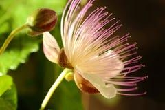 Flor da alcaparra fotos de stock royalty free