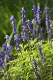 Flor da alfazema. Imagens de Stock