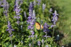 Flor da alfazema Imagem de Stock