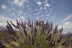 Flor da alfazema imagem de stock royalty free