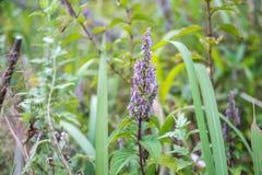 Flor da alfazema de Tailândia Fotografia de Stock Royalty Free